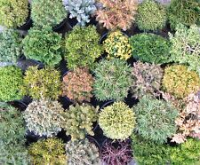 18 x Dwarf Conifer Mix, Evergreen Shrub Tree Hedge Bonsai Box 9cm plant pot