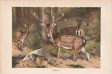 Damwild Damhirsch mit Rudel Lithographie von 1890 Wilhelm Kuhnert Fallow deer