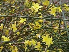 JASMINUM NUDIFLORUM Winter Jasmine Climber Shrub Yellow Flowers Hardy 12-18ins