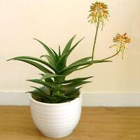 Special 400pcs Aloe Mix Seeds Exotic Succulents Cactus Home Garden Plant