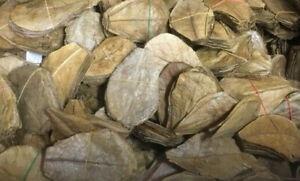 10 Seemandelbaumblätter 15cm - 20cm Top Qualität Catappa Leaves - Topseller !
