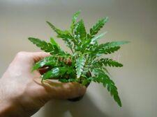 PIANTA PIANTE X ACQUARIO LIVE AQUARIUM PLANT HYGROPHILA PINNATIFIDA !