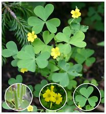 100 Organic Yellow Wood-Sorrel Seeds ~Oxalis stricta~ Edible, Medicinal & Tea.