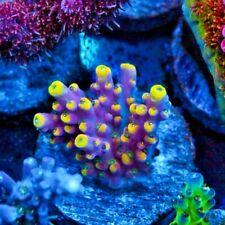 Rmf Flavor Parade Acro Acropora Frag Rare Live Coral Sps