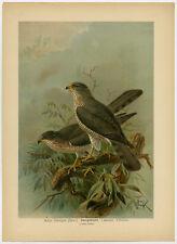 Antique Bird Print-LEVANT SPARROWHAWK-ZWERGHABICHT-Plate V.53-Naumann-1896
