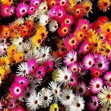Flower Seeds Livingstone Daisy Pastel Mix Bedding Garden Pictorial Packet UK