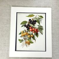 1899 Antique Botanical Print Cherry Cherries Fruit Tree Old Chromolithograph