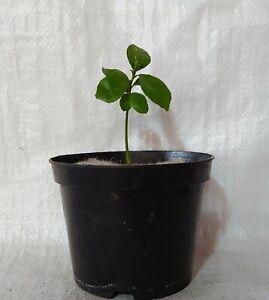 Yuzu Lemon, Citrus juno, Japanese citrus Pplant in a 17cm - 2 Litre Pot.