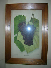 Vintage Yearbook US Dept. of Agriculture, 1903 Framed Print -Headlight Grape