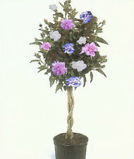ROSE OF SHARON HIBISCUS Tree, 3-N-1 Plant Colors 1-2 Ft  Dormant