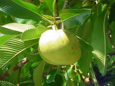 6 Semillas - Manzana de elefante - DILLENIA INDICA