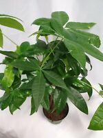 Rare Mini Pachira  Braided Money Tree Bring Luck Pachira Houseplant Bonsai