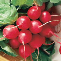 Cherry Belle Radish Seeds, NON-GMO, Fast Harvest, Variety Sizes, FREE SHIPPING