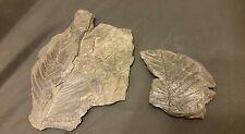 2 Pecopteris Fern Fossils- Carboniferous Period- Allegheny Group