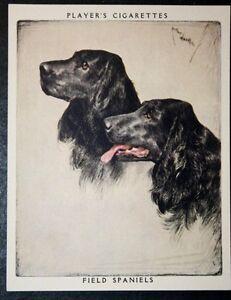 Field Spaniel     Superb Vintage Twin Portrait Card #  EXC