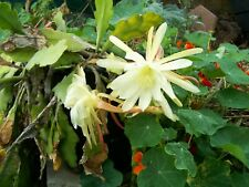 10 Epiphyllum Orchid Cactus Cuttings succulent voodoo Bonsai dragon flower night