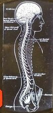 Model/Drawing of Human Spinal Cord and Brain, Magic Lantern Glass Slide