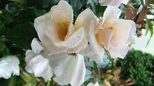 Sally Holms rose, Shrub, Climber, plant