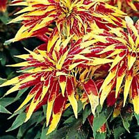Amaranthus Seeds, Perfecta, Annual Foliage Plant Seeds, Eye Catching Leaves 75ct