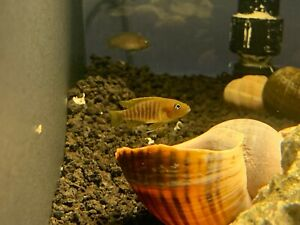 Multi Shell Dweller (Neolamprologus multifasciatus) Live Fish African Cichlid