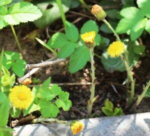Huflattich 120 Samen Heilpflanze Wildkräuter Heilkraut Tussilago farfara Staude