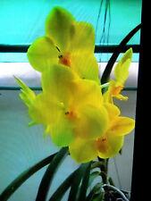 Vanda Nopporn Golden Dream 'Nn', orchid plant