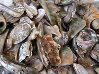 Abalone Shell Tumbled 30mm Qty6 Irregular Healing Seashell by Cisco Traders