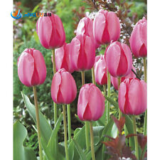 100pcs Bonsai Tulip Seeds Pink Flower DIY Garden Flower Potted Plants Seeds