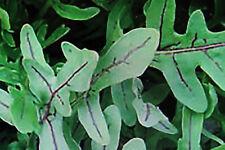 50 Samen italienische Rauke,wildform, Rucola silvatica #671