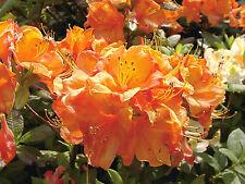 Gartenazalee Glowing Embers Rhododendron luteum 30-40cm Frühlingsblüher