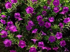 80 graines Pétunia Violet Parfumé (Petunia Violacea LAURA BUSH)G888  SEEDS SAMEN