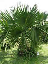 Sabal louisiana DWARF LOUISIANA PALMETTO Seeds!