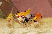 live aquarium fish koi angelfish