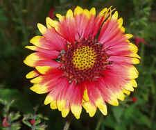 Gaillardia Aristata Blanket Flower Heirloom Seeds-Approximately  300 Seeds 2.45g