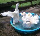 Dozen (12) Organically Raised Fertile Hatching Pekin Duck Eggs.