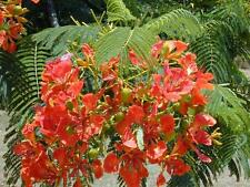 Poinciana/Flambouyant Tree Seeds - Brilliant Flowerer Warm Climate Pea Flower