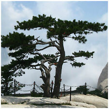 10 semi di Pinus tabuliformis, pino Cinese, semi bonsai