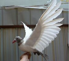 simulation gray tail dove model foam&furs wings pigeon doll gift about 50x30cm