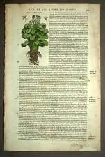 Botanique plante RHAPONTIQUE gravure estampe ancienne aquarellee, Matthiole 1572