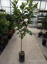 """PIANTA DI BERGAMOTTO IN FITOCELLA (foto reale della pianta) """" citrus bergamia """""""