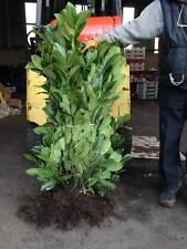 10 Cherry Laurel Hedging - Apx 3-4ft (90-120cm) - Prunus Rotundifolia - Grade A