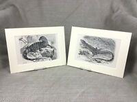 1894 Antico Impronte Rettili Lizard Mantella Monitor Rettile Esotico Animali