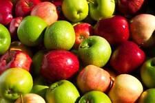 Apple tree seeds, 20 seeds of mix apple, from Moldova