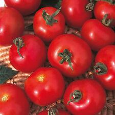 Graines potagères-Tomate-Moneymaker - 75 graines