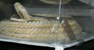 HUGE COELOGNATHUS FLAVOLINEATUS YELLOW STRIPED SNAKE REAL SKELETON TAXIDERMY