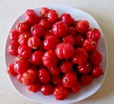 Fruit Seeds, Red Eugenia uniflora, 20 Fresh Seeds, Sweet Fruit and Green Tree