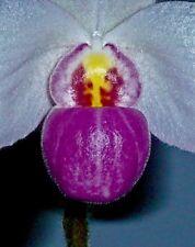 Paphiopedilum Species 4N Perfect Smile blühstark Orchidee Orchideen