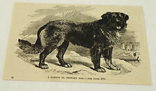 1884 magazine engraving ~ A Famous St. Bernard Rescue Dog
