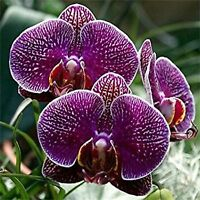 Beautiful Redish Purple Butterfly Orchid  Flower Seeds 80 SEEDS