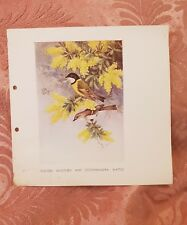 Golden Whistlers & Cootamundra Wattle - 1938 Book Print